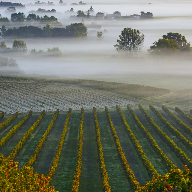 """Castle in Bordeaux Vineyard Sunrise"" stock image"