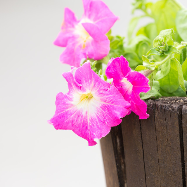 """""""pink flowers of spring"""" stock image"""