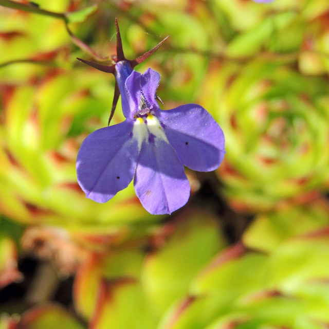 """""""Blue flower"""" stock image"""