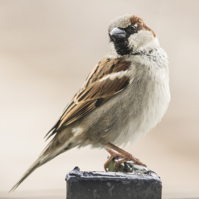 """Male House Sparrow"" stock image"