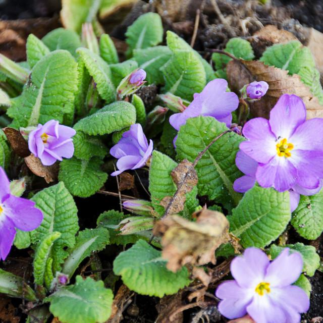 """Primula vulgaris"" stock image"