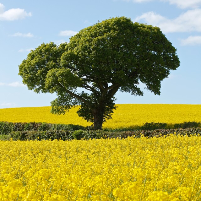 """Green Tree in Bright Yellow Rapeseed Fields"" stock image"