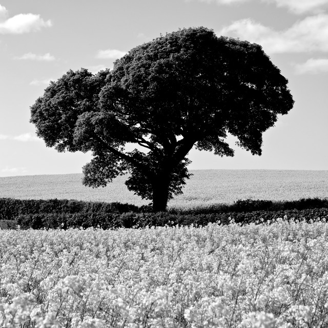 """Black White Tree in Rapeseed Fields"" stock image"