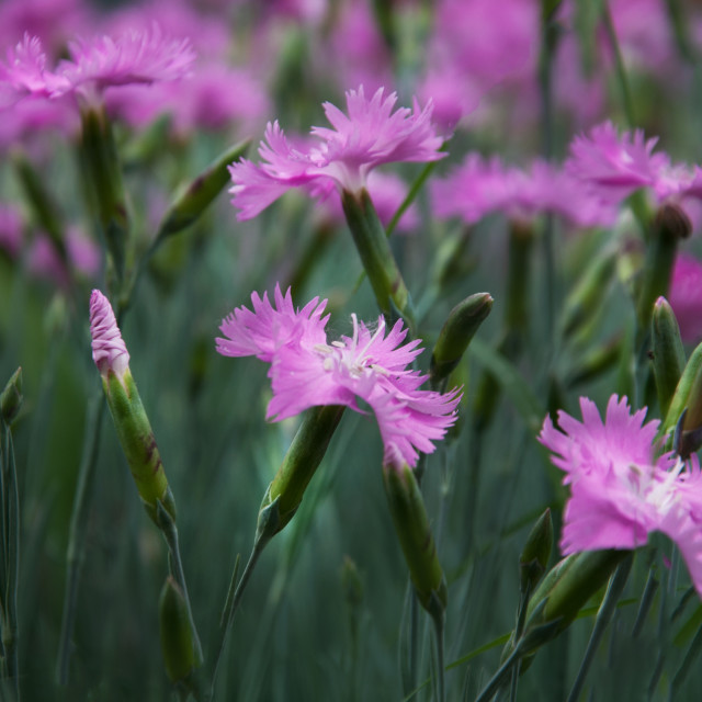 """Dianthus"" stock image"