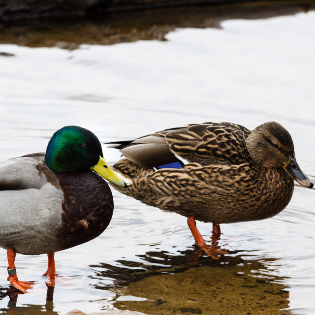"""lovely mallard"" stock image"