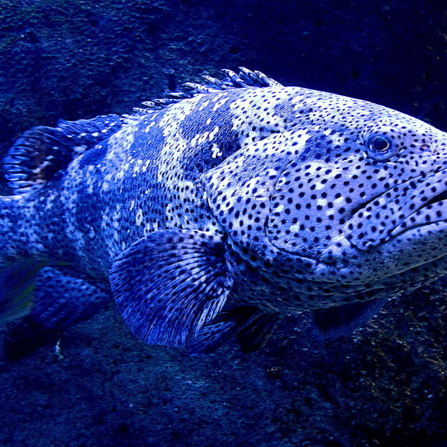 """""""coral cod"""" stock image"""