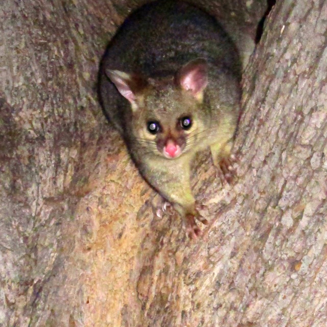 """native possum"" stock image"