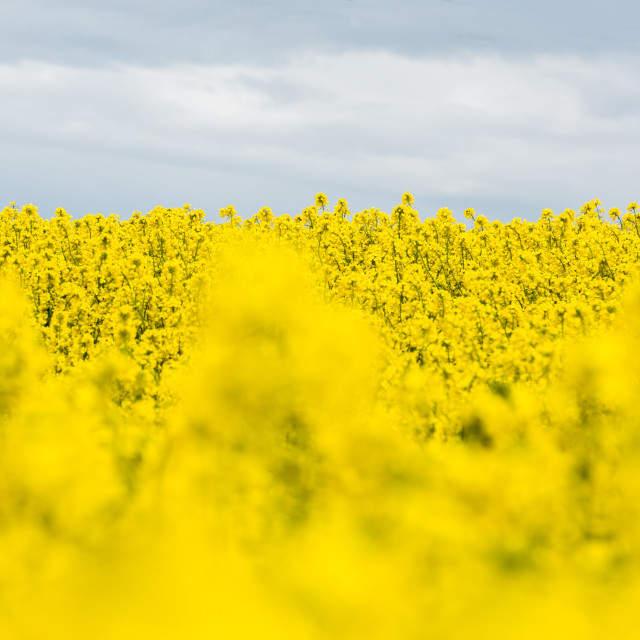 """Month of the yellow fields"" stock image"