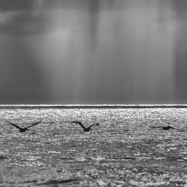 """Pelicans and Approaching Rain"" stock image"