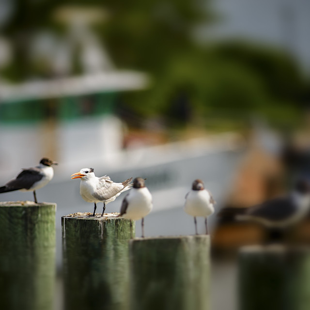 """Tern on a Post"" stock image"