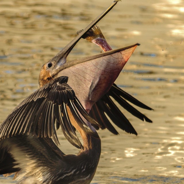 """Pelican Swallowing"" stock image"