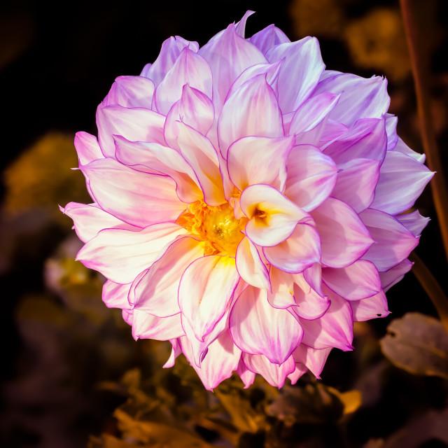 """A Nice Pink Dahlia"" stock image"