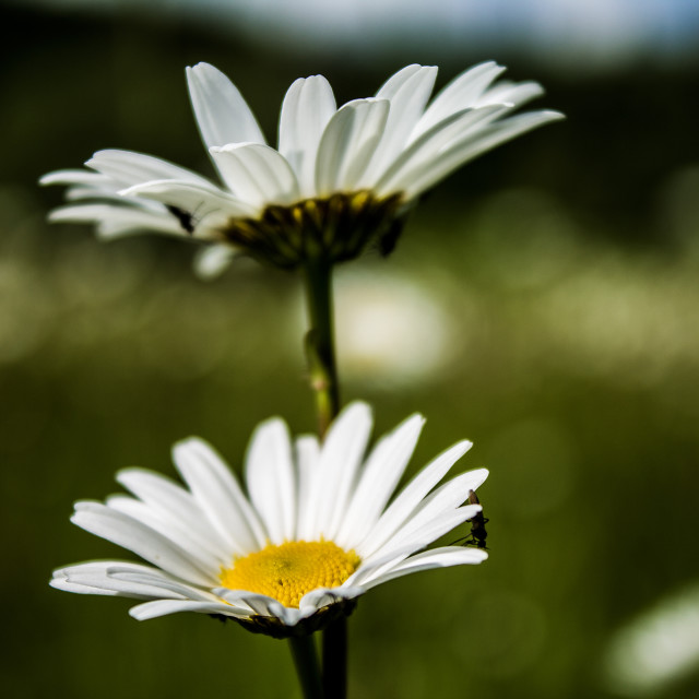 """""""Two Daisies alone"""" stock image"""