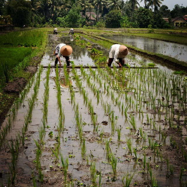 """working in rice fields, Yogyakarta"" stock image"