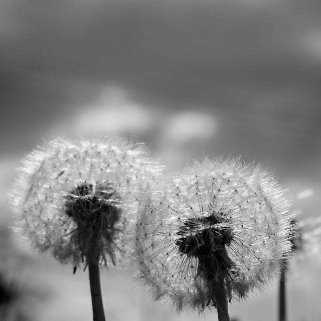"""Two Black White Dandelion Blow Balls"" stock image"