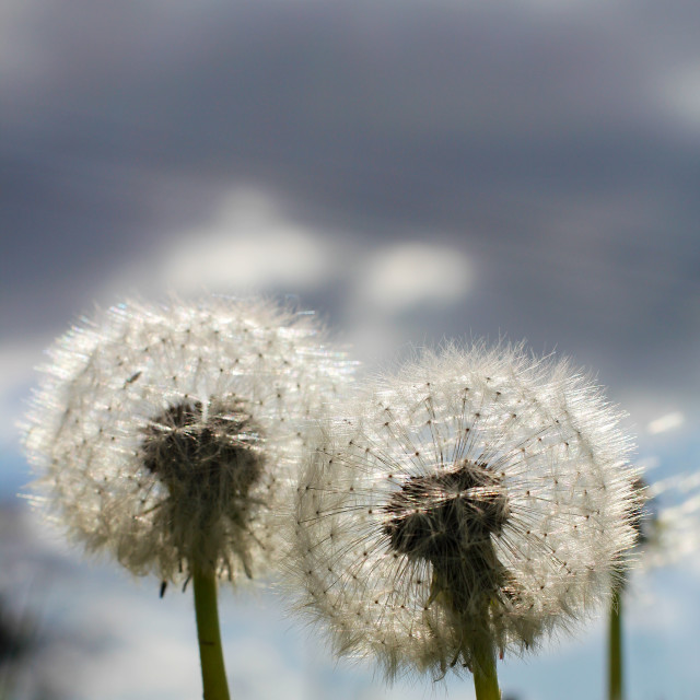 """Two Dandelion Blow Balls"" stock image"