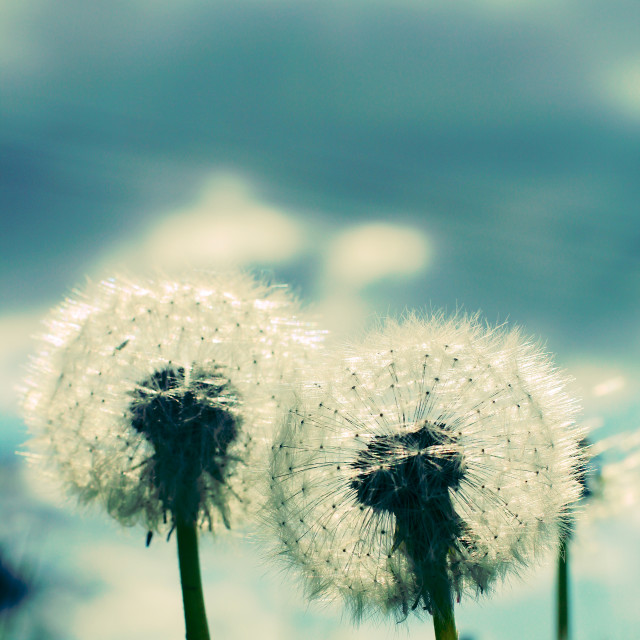 """Two Dandelion Blow Balls Instagram"" stock image"