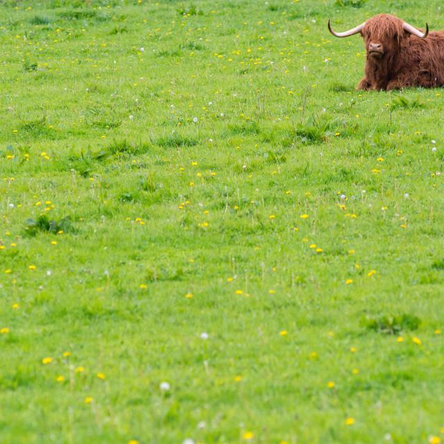 """Irish cow"" stock image"