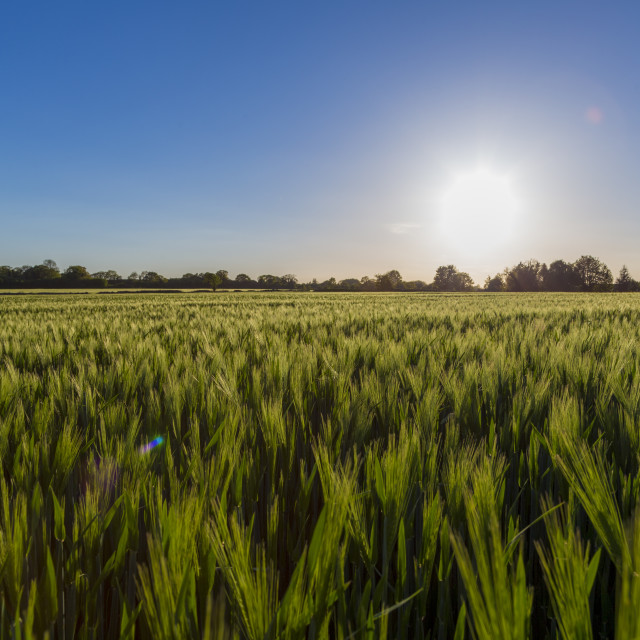 """Corn wheat field in brilliant blue sunlight"" stock image"
