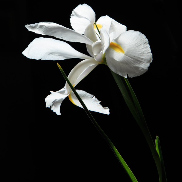"""Elegant Iris Flower"" stock image"
