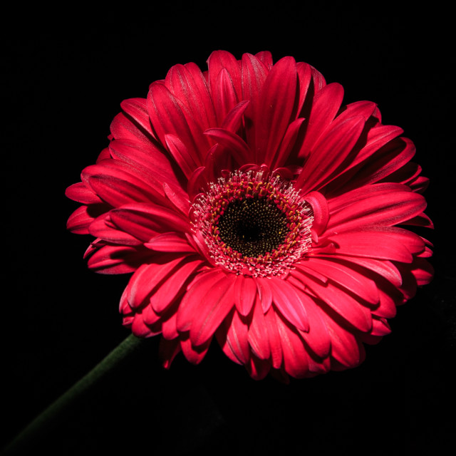 """Large Gerber Daisy"" stock image"