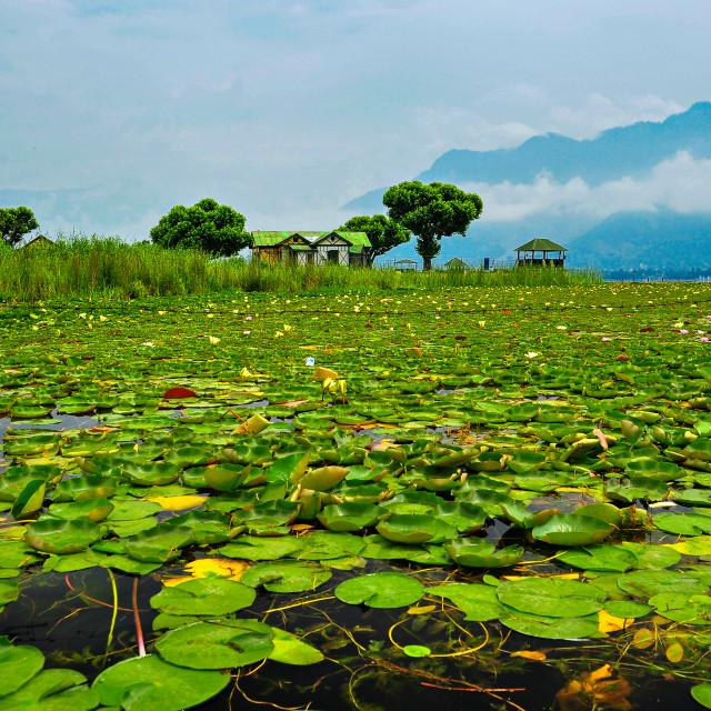 """Tranquility - Dal Lake, Srinagar, Kashmir"" stock image"