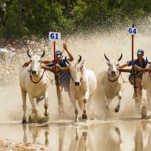 """Unidentified jockeys steer bulls across the muddy paddy field"" stock image"