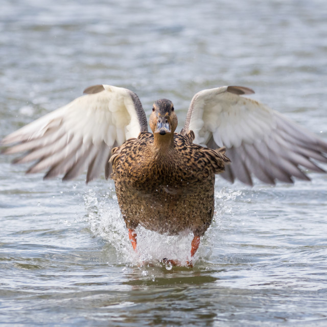 """Incoming Mallard"" stock image"