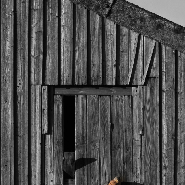 """Kestrel on Barn"" stock image"