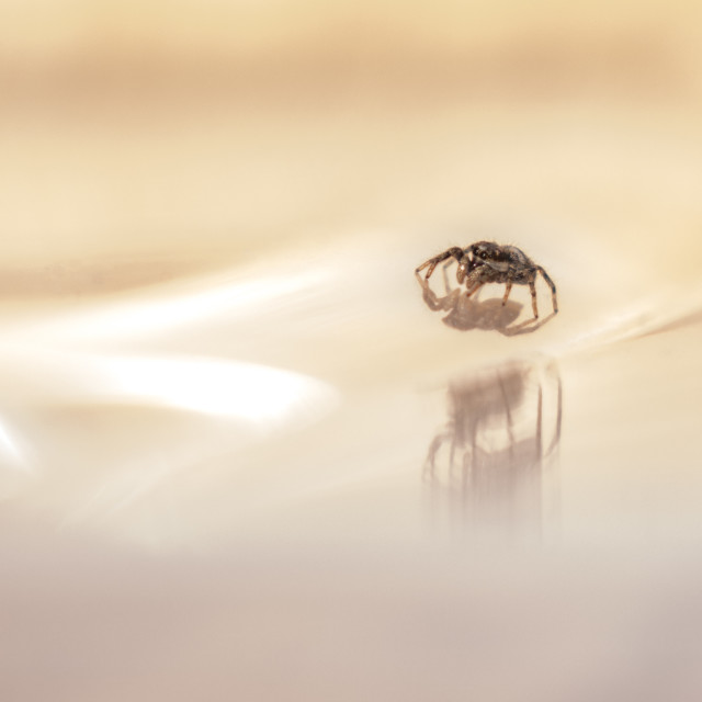 """""""Jumping Spider"""" stock image"""
