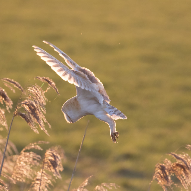 """Barn Owl Hovering"" stock image"