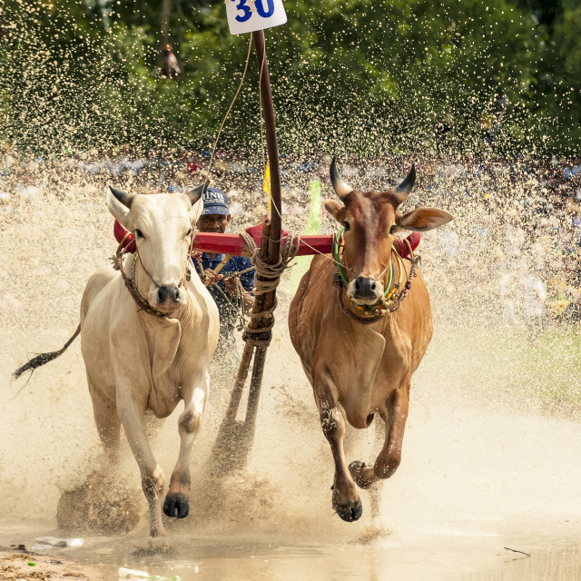 """Unidentified jockey steers bulls across the muddy paddy field inthe race of 'Don Ta' festival"" stock image"