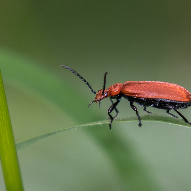 """Red Headed Cardinal Beetle"" stock image"