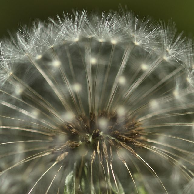 """Dandelion halo"" stock image"
