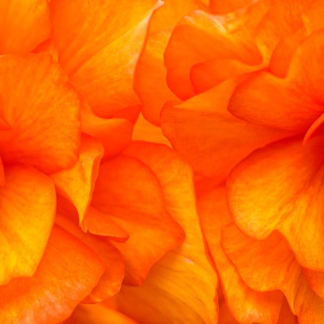 """""""Begonia"""" stock image"""
