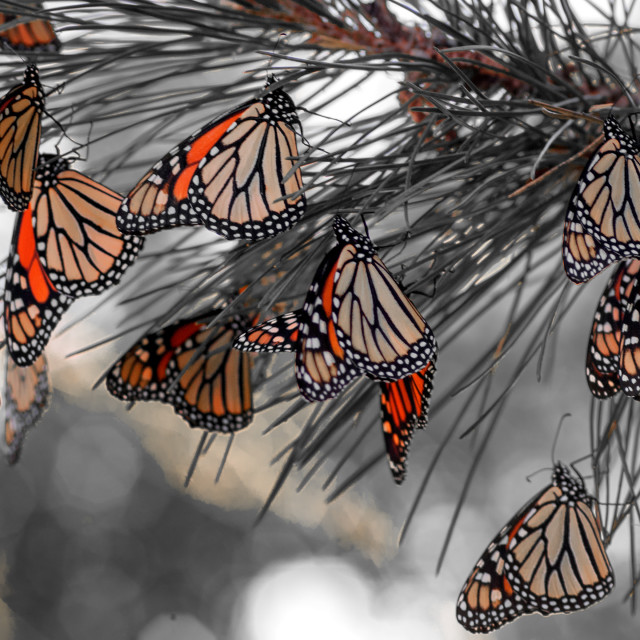 """""""Monarchs at Rest"""" stock image"""