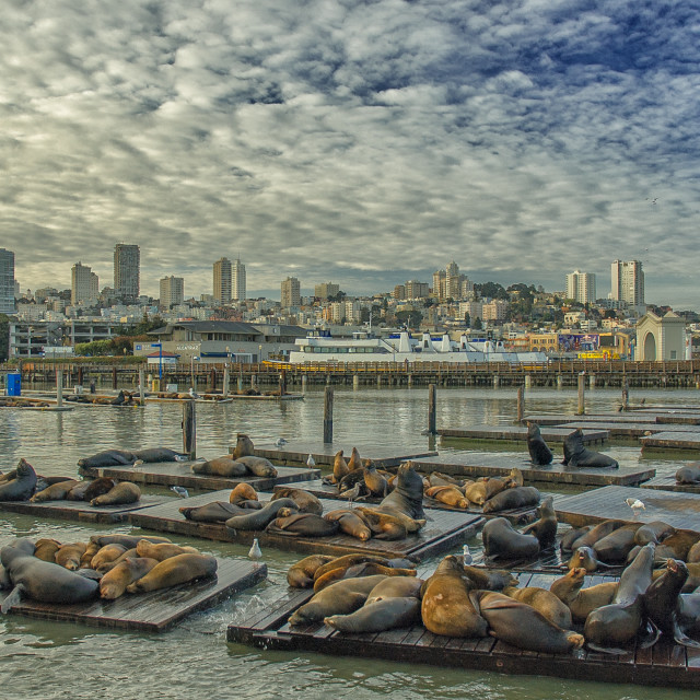 """Seals at Pier 39"" stock image"
