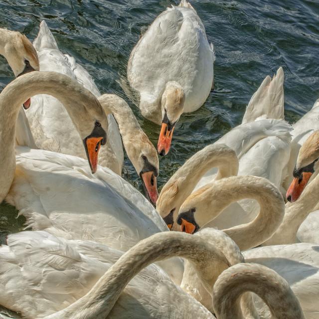 """""""Swans on Roath Park Lake"""" stock image"""