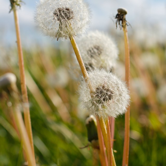 """Dandelion Blow Ball Stalks"" stock image"