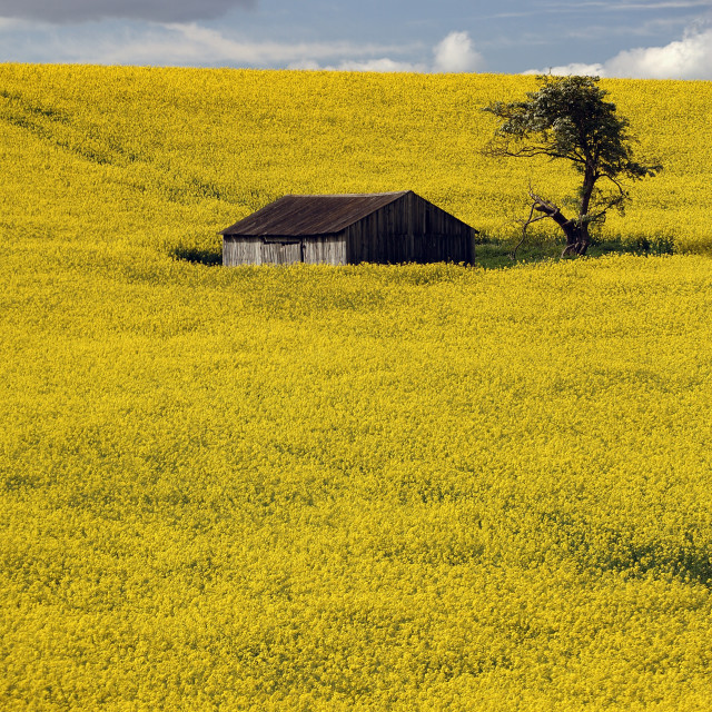 """RAPE SEED FIELD WITH BARN"" stock image"