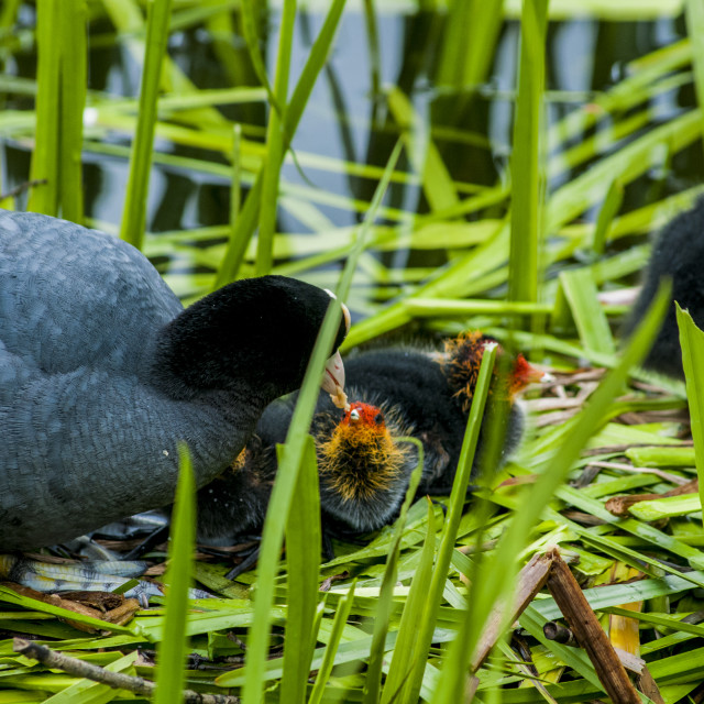 """Coot"" stock image"