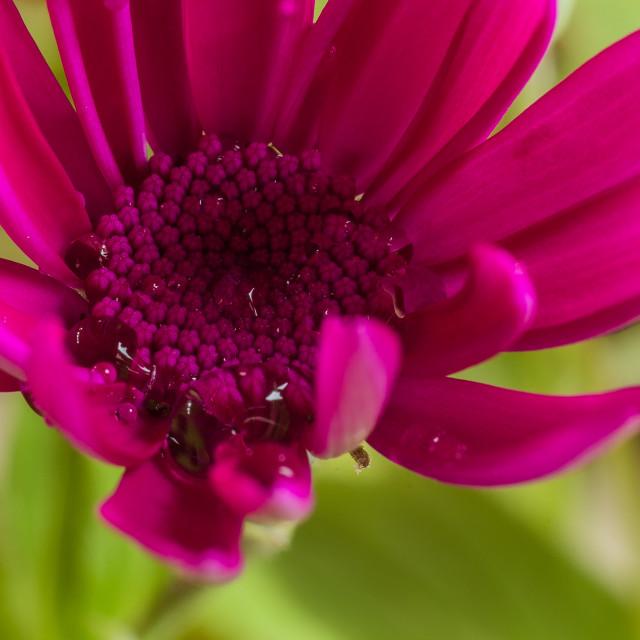 """""""Rain Soaked Daisy"""" stock image"""
