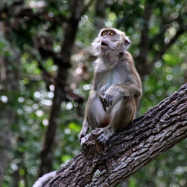 """""""Macaque"""" stock image"""