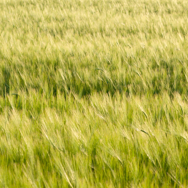 """Green Barley Field Closeup"" stock image"