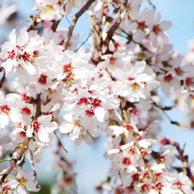 """""""almond tree pink flowers with branches"""" stock image"""