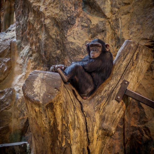 """Monkey having a chill"" stock image"