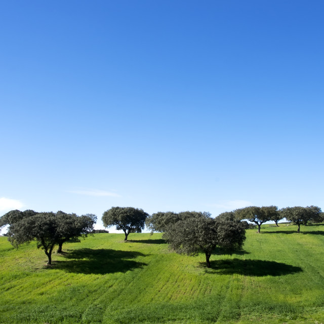 """oak trees in field of alentejo,Portugal"" stock image"