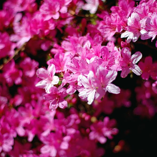 """Azalea bush"" stock image"