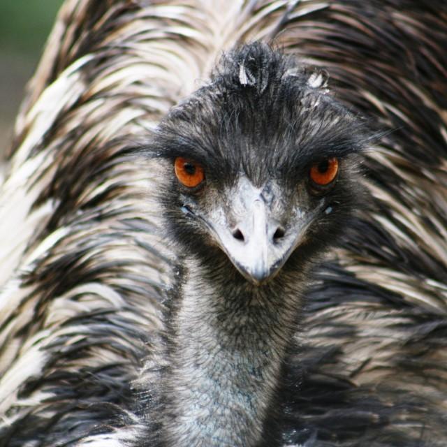"""""""Emu"""" stock image"""