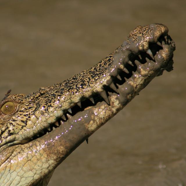 """wild Australian crocodile"" stock image"